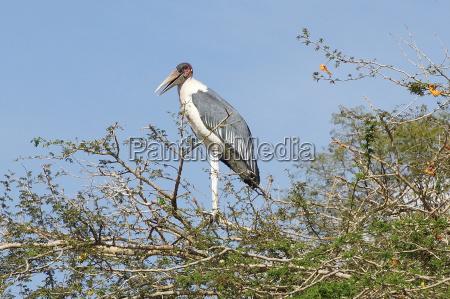 ptak afryka ptaki bocian marabut