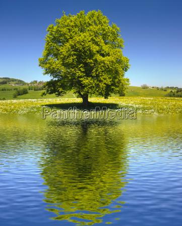 duzy stary drzewo jako pojedynczy drzewo