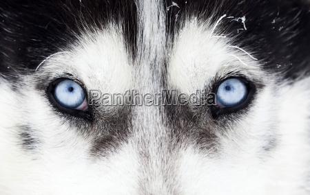 zblizenie portret potrait pies hodowla bildnis