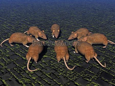 nager gryzon odpad mysz choroby szczur