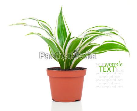 zielony palma doniczka zielone zielona zawod