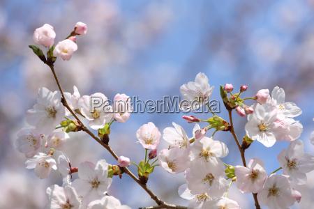 kwitnaca galaz wisniowego kwiatu na blekitnym