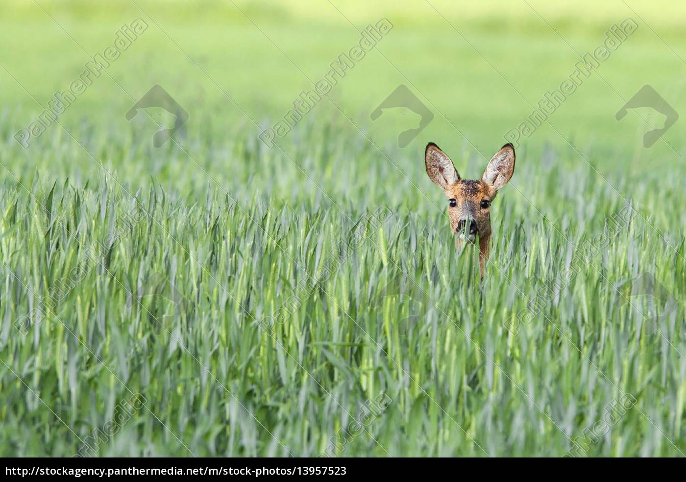roe-deer, in, a, clearing - 13957523