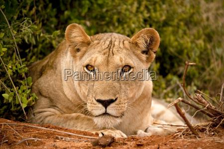 zwierze afryka kenia lew kot kot