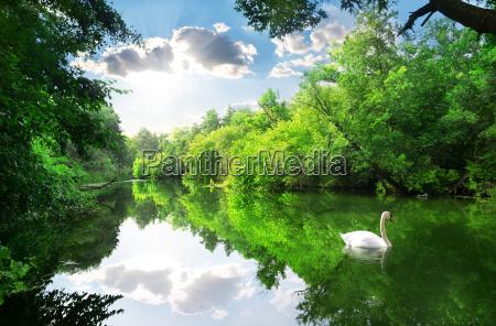 bialy labedz na rzece