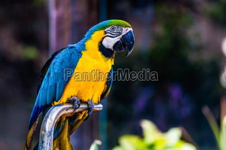 niebieskie i zlote lub zolte papugi