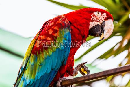 red macaw lub ara kakadu papuga