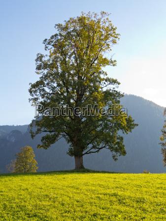 jawor drzewo na lace u podnoza