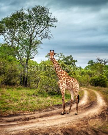 dzikie zyrafy poludniowoafrykanskie