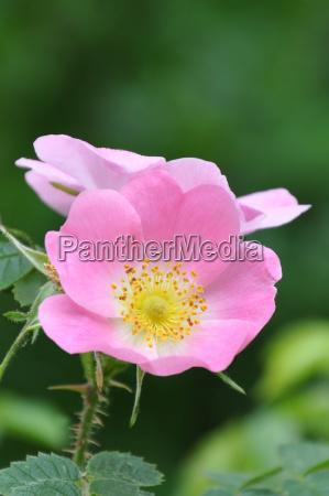 hundsrose rozowy caninahagrosezywoplot rose