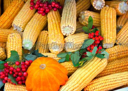 kukurydza cukrowa dynia cebulek kosze ziemniaczanej
