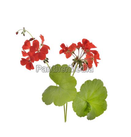 kwiaty bodziszka