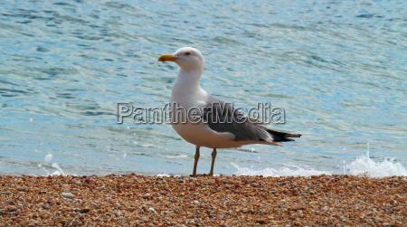 europa seagull polowowych rybolostwo