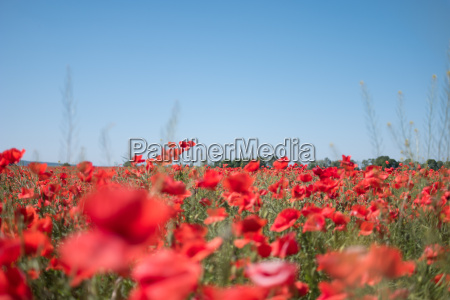 field with red wild poppies