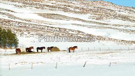 kon zima zimowy islandia
