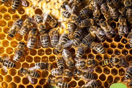 makroaufnahme der bienen schwaermen auf einem