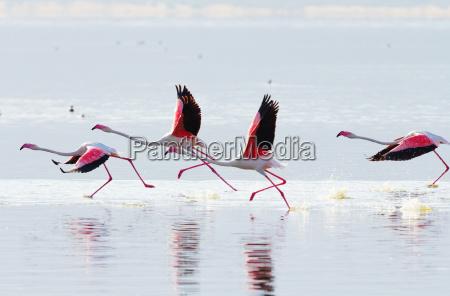 latajace czerwonak czerwonak latanie