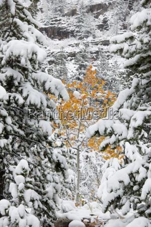 sosny pokryte sniegiem konarow i male
