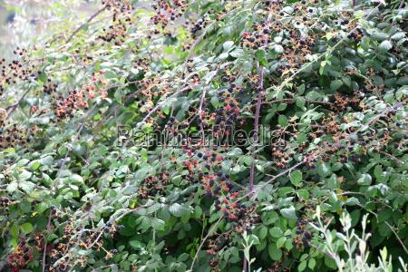 poganiac jagody jezyna zbiory zniwa