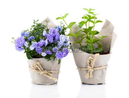 kwiaty bell dzwonek kwiaty w opakowaniach