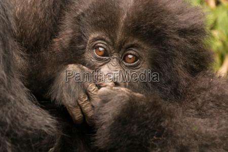 baby gorilla bliska ukrywanie usta z
