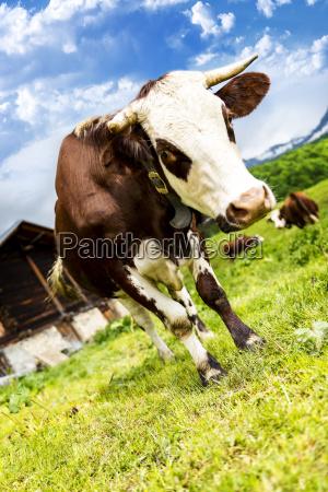 krowa alpejska