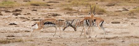 two thomsons gazelle locking horns beside