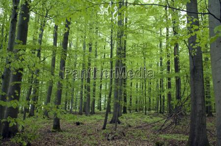 buchenwald wald fruehjahr