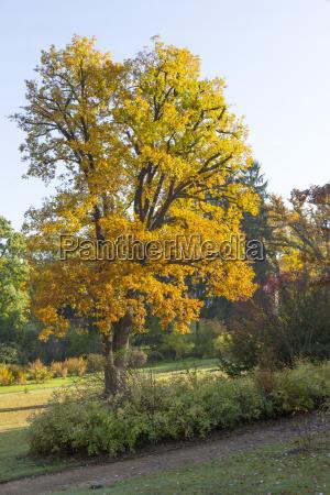 jesienny dab w parku