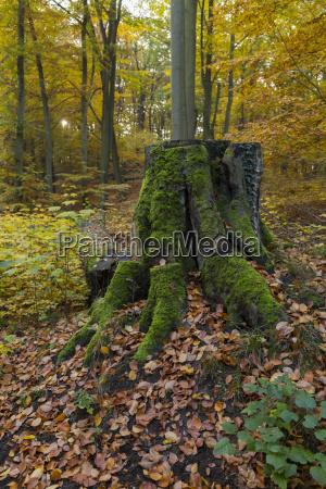 pniak z zielonego drzewa