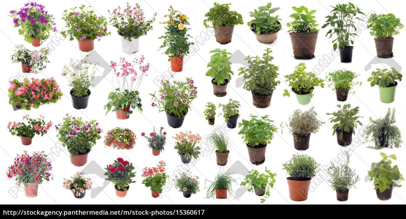 aromatyczne, zioła, i, rośliny, kwiatowe - 15360617