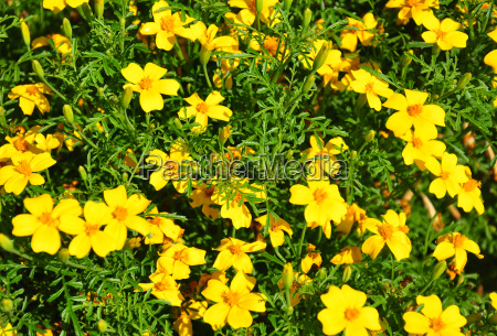 kwiatek z waskim lizawem tagetes tenuifolia