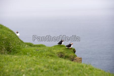atlantic maskonury fratercula arctica w kolonii