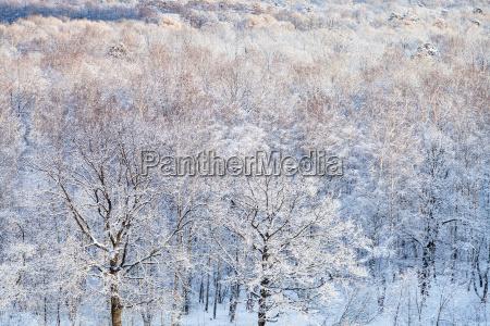 snow oak drzewa oswietlone przez slonce