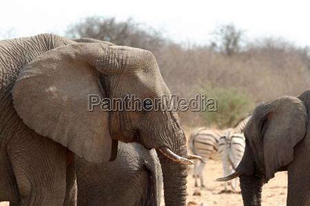 zwierze afryka slon przyrody safari
