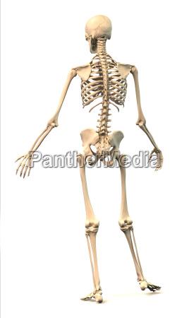 mezczyzna ludzki szkielet w dynamicznej postawy
