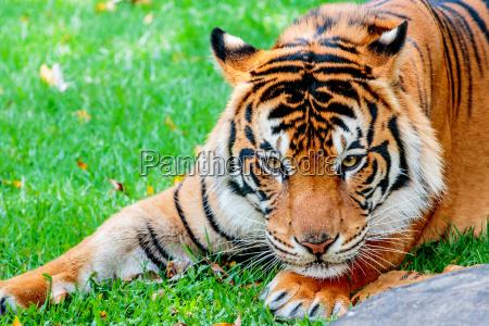 kot kot drapiezny tygrys sumatran