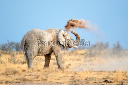 slon afrykanski w kurzu