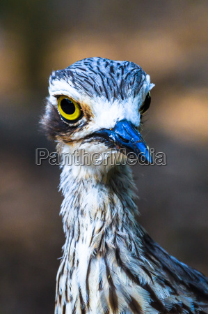 portret curlew
