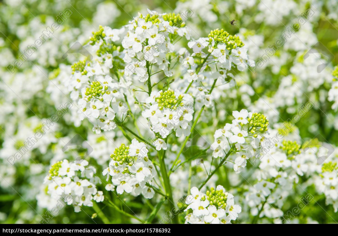small, white, flowers, of, horseradish, , close-up - 15786392
