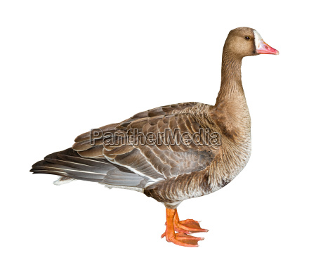 white fronted goose cutout
