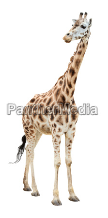 giraffe half turn looking cutout