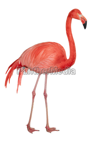 american flamingo cutout