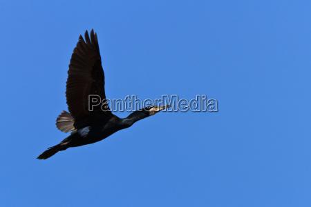 lot zwierze ptak kormoran przyrody firmament