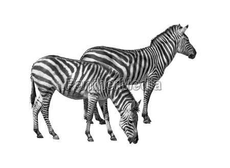 couple of zebras cutout