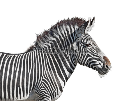 grevys zebra close up cutout