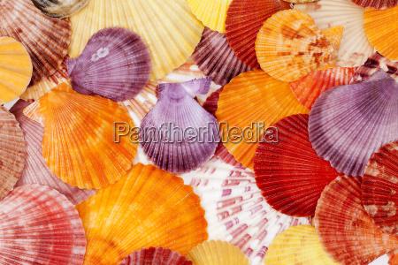 tlo z kolorowych muszli morskich mieczak