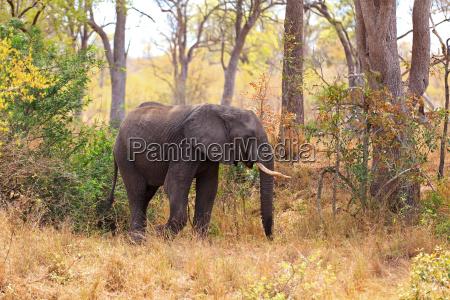 afryka slon bulle