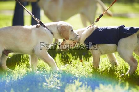 przewodnik psy w szkoleniu psow