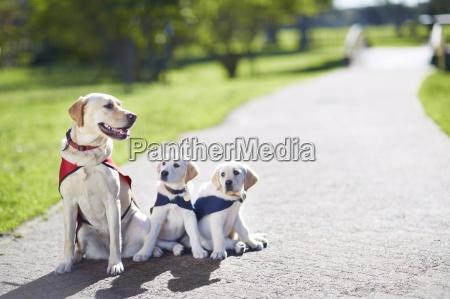 trzy psy przewodniki w szkoleniu psow